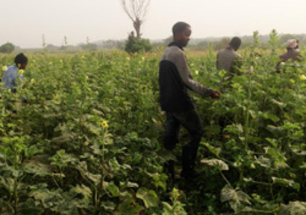 Work Exchange In Ghana Farm And Agricultural Volunteer Projects